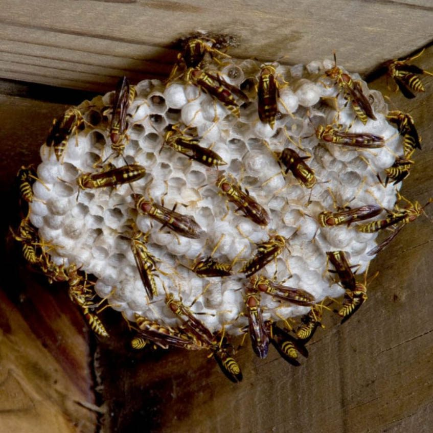 wasp nest removal ayr yellow jackets nest